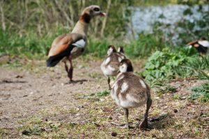Egyptian Goose with their baby geese